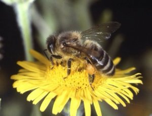 food_gathering_behavior_of_bees_full-1